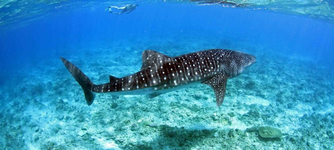 Maldives Whale Shark Festival at South Ari Atoll