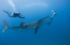 Whale-shark-and-diver